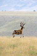 Mule deer buck stotting in summer habitat
