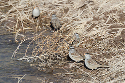 White-crowned sparrow at edge of pond, Ladder Ranch, west of Truth or Consequences, New Mexico, USA.