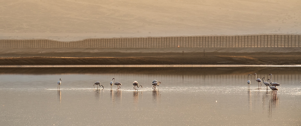 A flock of Greater Flamingo (Phoenicopterus roseus) wading in a water pool. Photographed in the Arava, Near Eilat, Israel The greater flamingo is a large wading bird which inhabits lakes and coastal waters in parts of Africa, Asia and South and Central America. It feeds by submerging its large bill in the water and filtering shrimp, plant matter and insects. Its pink colour is due to pigments in the shrimp that make up a large part of its diet. Flamingos are generally social feeders