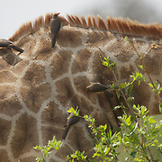Red-billed Oxpecker, feeding on the ticks attached to a South African Giraffe. Timbavati Game Reserve, South Africa.