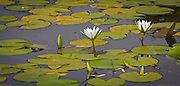 Blue Water lily (Nymphaea capensis) in Motopos Hills area in Zimbabwe. The park is a U.N. UNESCO World Hertiage Site. © Michael Durham / www.DurmPhoto.com