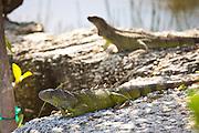 Green Iguana (Iguana iguana) lizards relax in the sun Key West, Florida.