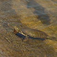 Eastern painted turtle basks in Lake of the Woods, Ontario, Canada.