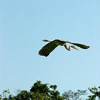 A Cocoi Heron (Ardea cocoi) perches in a tree above the Yanayacu River in Peru's Amazon Jungle.
