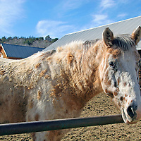 North America, USA, New Mexico. Horses at riding stables of Bishop's Lodge Resort near Santa Fe, New Mexico.