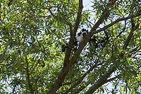 A DJI inspire drone stuck in a tree.