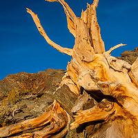 The wind-twisted trunk of a dead Bristlecone Pine sits atop an arid mountain in the  Ancient Bristlecone Pine Forest in California's rugged White Mountains.