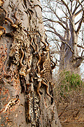 hunting trophies antlers and leopard skins in the Hadzabe village The Hadza, or Hadzabe, are an ethnic group in north-central tanzania, living around Lake Eyasi in the Central Rift Valley and in the neighboring Serengeti Plateau.