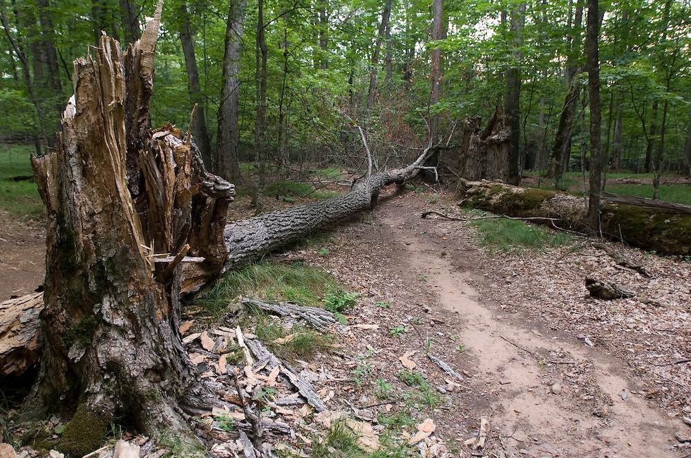 A detour around a downed tree on a trail at Sylvania Wilderness Area of Ottawa National Forest near Watersmeet Michigan.