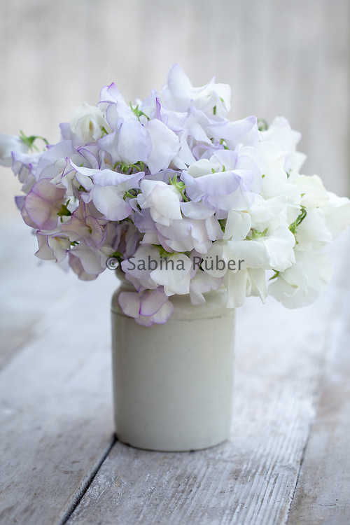 Lathyrus odoratus 'Romeo', 'Honeymoon' and 'Royal Wedding' - sweet pea arrangement in small earthenware jar