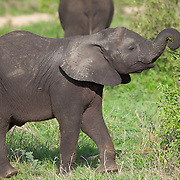 Baby elephant. Kruger National Park. South Africa. Organization for Tropical Studies Trip 2009.