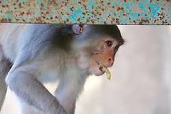 Rhesus Macaque Eating, Mount Popa