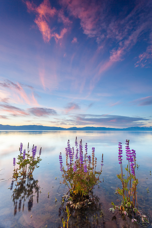 """""""Tahoe Lupine at Sunrise 4"""" - These partially submerged lupine wildflowers were photographed at sunrise at Lake Forest Beach, Lake Tahoe."""