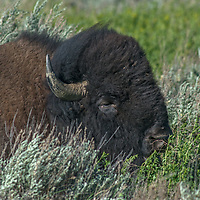 An American bison (Bison bison) naps amidst sagebrush on the American Prairie Reserve in Phillips County, Montana.