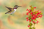 Calliope Hummingbird, Stellula calliope, Male flying at Texas Betony, Stachys coccinea, Birds animals wildlife birds hummingbird, Sunset New Mexico United States flight high speed photographic technique