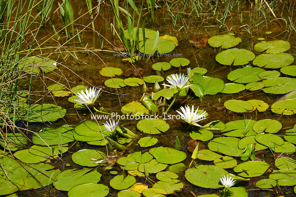 Nymphaea caerulea, known primarily as blue lotus (or blue Egyptian lotus), but also blue water lily (or blue Egyptian water lily), and sacred blue lily (or sacred narcotic lily of the nile), is a water-lily in the genus Nymphaea.