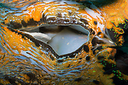 Giant clam ( tridacna gigas) Agincourt Reef, Great Barrier Reef, Queensland, Australia. <br />