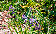 Scilla hyacinthoides (commonly known as Hyacinth Squill) is a geophyte, native to the Middle East. Photographed in Israel in March