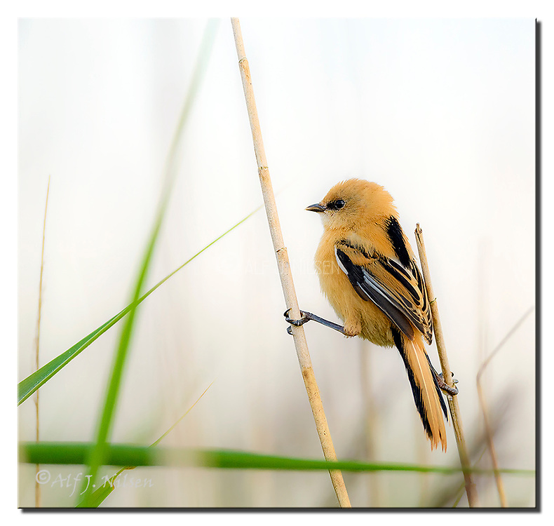 Young female Bearded Tit holding fast to the stout grass. Photo from Vejlerne, northern Denmark. Nikon D500, 600mm (900mm in full frame), f5.6, EV+1, 1/400sec, ISO450, manual modus.