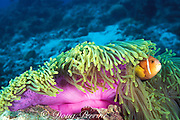 Maldives anemonefish, or  blackfooted clownfish, endemic to Maldives and Sri Lanka, in magnificent sea anemone, Heteractis magnifica, Maaya Thila, Maldives ( Indian Ocean )