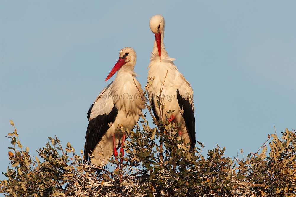 White Storks (Ciconia ciconia) <br /> Wetland Reserve<br /> Doñana National & Natural Park. Huelva Province, Andalusia. SPAIN<br /> 1969 - Set up as a National Park<br /> 1981 - Biosphere Reserve<br /> 1982 - Wetland of International Importance, Ramsar<br /> 1985 - Special Protection Area for Birds<br /> 1994 - World Heritage Site, UNESCO.<br /> The marshlands in particular are a very important area for the migration, breeding and wintering of European and African birds. It is also an area of old cultures, traditions and human uses - most of which are still in existance.<br /> RANGE: Breeds in Warmer Europe, nw Africa and sw Asia e to southern Kazakhstan) Migrates in winter to tropical Africa down to South Africa & Indian subcontinent.<br /> They breed in open farmland areas with access to marshy wetlands. Nests made of sticks in trees, power pillons and buildings as it is not persecuted as it is seen as a good luck bird. However they are killed during their migration. They feed on fish, frogs, insects but also on small rodents and reptiles.<br /> <br /> Mission: Iberian Lynx, May 2009<br /> © Pete Oxford / Wild Wonders of Europe<br /> Zaldumbide #506 y Toledo<br /> La Floresta, Quito. ECUADOR<br /> South America<br /> Tel: 593-2-2226958<br /> e-mail: pete@peteoxford.com<br /> www.peteoxford.com