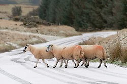 © Licensed to London News Pictures. 09/11/2019. Builth Wells, Powys, Wales, UK. Mountain sheep are seen in a wintry landscape. Temperatures plunge to below zero during the night and snow falls this morning on the high land of the Mynydd Epynt range near Builth Wells in Powys, Wales, UK.Photo credit: Graham M. Lawrence/LNP