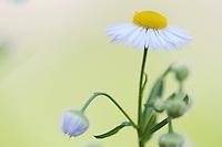 Fleabane (Erigeron spec.), flowering at the Mayor's House of Pont-du-Chateau, Auvergne, France.