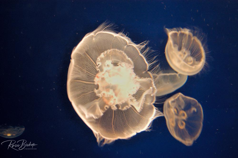 Moon jellies (Aurelia labiata) at the Monterey Bay Aquarium, Monterey, California.
