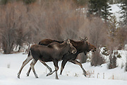 Shira's moose cow and calf during winter in Wyoming
