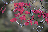 The autumn inspired red leaves of a maple tree along the banks of the St. Joseph River