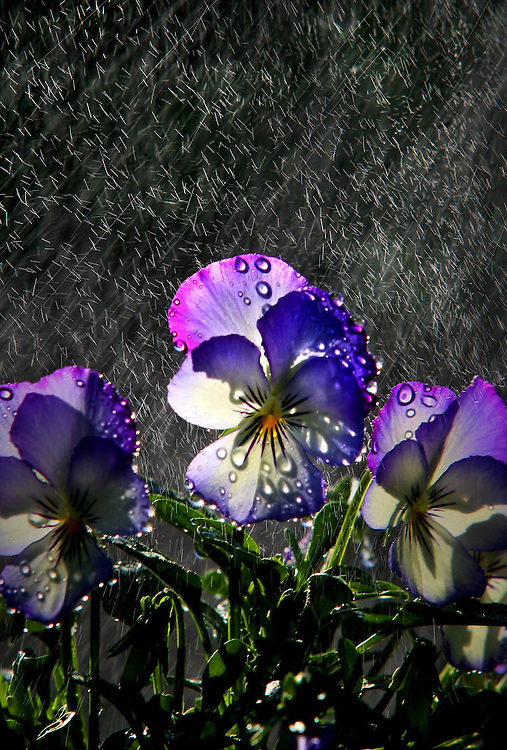 Moonlight Bay Pansy, soaking up moisture at Acorn Nursery in Surrey Hills   Pic By Craig Sillitoe SPECIALX 000 melbourne photographers, commercial photographers, industrial photographers, corporate photographer, architectural photographers, This photograph can be used for non commercial uses with attribution. Credit: Craig Sillitoe Photography / http://www.csillitoe.com<br /> <br /> It is protected under the Creative Commons Attribution-NonCommercial-ShareAlike 4.0 International License. To view a copy of this license, visit http://creativecommons.org/licenses/by-nc-sa/4.0/.