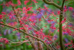 Young emerging spring foliage of Acer palmatum 'Corallinum' AGM