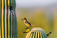 A Brown-crested Flycatcher (Myiarchus tyrannulus) perches before bringing a crushed cicada to its nest in a Saguaro  (Carnegiea gigantea). (Arizona)