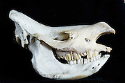 White rhinoceros skull, (Ceratotherium simum)<br /> Private Reserve, <br /> SOUTH AFRICA<br /> RANGE: Southern & East Africa<br /> ENDANGERED SPECIES