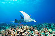 a reef manta ray, Manta alfredi, is cleaned by saddle wrasses, Thalassoma duperrey, an endemic species, at a cleaning station on a coral reef between Makalawena and Mahaiula, Kona Coast, Hawaii ( the Big Island ), U.S.A., Central Pacific Ocean