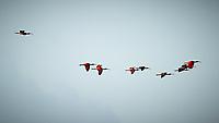 Scarlet Ibis (Eudocimus ruber). Caroni Bird Sanctuary, Caroni Swamp, Trinidad, Image taken with a Nikon D3s camera and 70-300 mm VR lens.