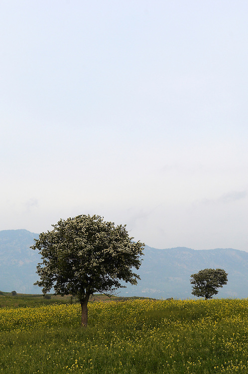 Trees on a meadow, Hisarköy, Northern Cyprus