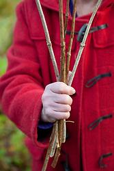 Showing material suitable for hardwood cuttings. Viburnum opulus, Guelder rose
