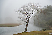 A bare willow tree in fog on a winter morning in Charleston, South Carolina.