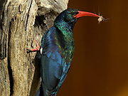 Green wood-hoopoe, Phoeniculus purpereus, Limpopo, South Africa, at nest in a dead camelthorn tree with a small spider