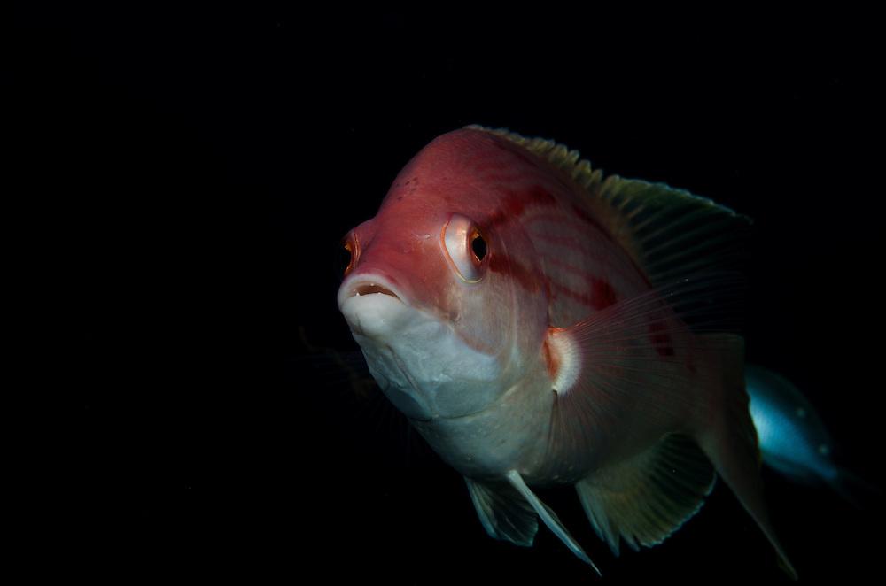 Red pigfish, Bodianus unimaculatus