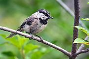 Mountain Chickadee, Poecile gambeli, Sandia Mountains, New Mexico