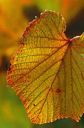 Autumnal foliage of Vitis coignetiae