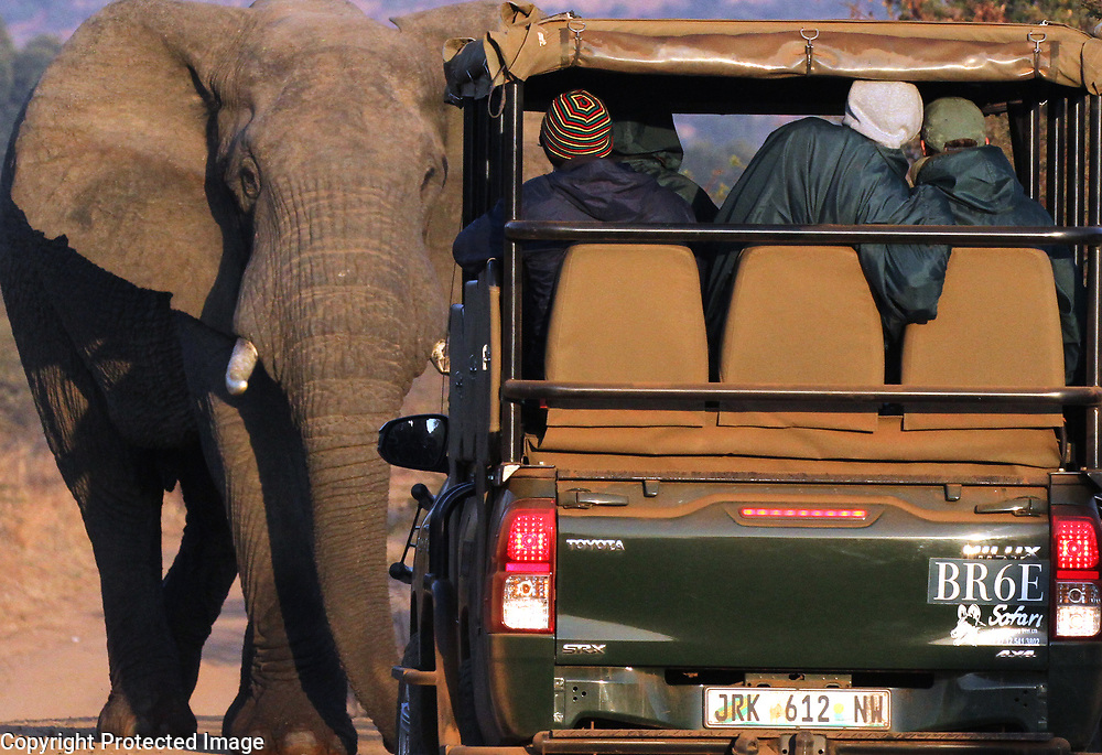 An elephant charges a safari vehicle in Pilanesberg National Park in South Africa.<br /> Photo by Shmuel Thaler <br /> shmuel_thaler@yahoo.com www.shmuelthaler.com