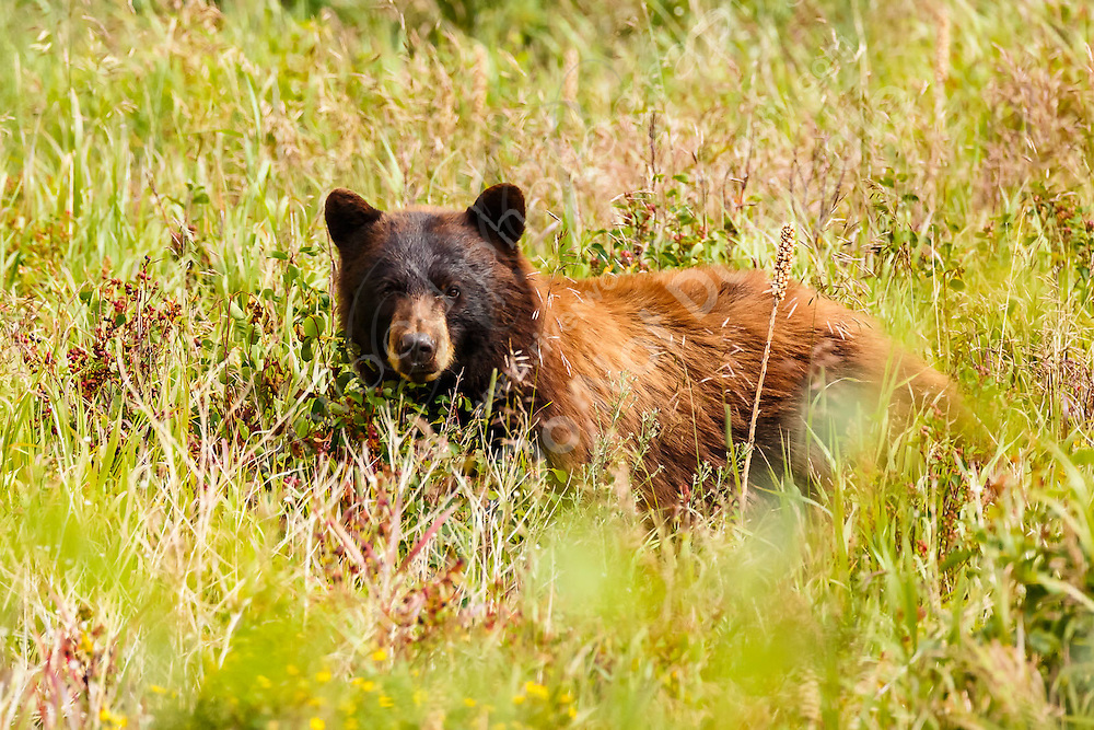 A cinnamon colored black bear in the Many Glacier region of Glacier National Park<br /> <br /> ©2016, Sean Phillips<br /> http://www.RiverwoodPhotography.com