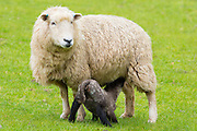 Sheep ewe with black lamb suckling in Exmoor National Park, Somerset, United Kingdom