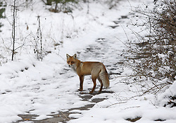 December 22, 2016 - Kiev, Ukraine - A wild fox walks in the deserted town of Pripyat,two kilometers from the Chernobyl nuclear power plant, Ukraine, on 22 December,2016. The explosion of Unit four of the Chernobyl nuclear power plant on 26 April 1986 is still regarded the biggest accident of nuclear power generation  in the history. (Credit Image: © Serg Glovny via ZUMA Wire)