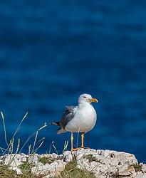 THEMENBILD - eine Möwe (Laridae) steht auf einem weißen Felsen, aufgenommen am 27. Juni 2018 in Pula, Kroatien // a seagull stands on a white rock, Pula, Croatia on 2018/06/27. EXPA Pictures © 2018, PhotoCredit: EXPA/ Stefanie Oberhauser