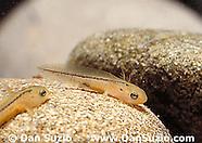 Sierra Newt, Taricha torosa sierrae