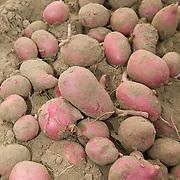 Idaho, Canyon County, Wilder, Simplot, World Potato Congress, Potato Farm Show, US 147-96, red